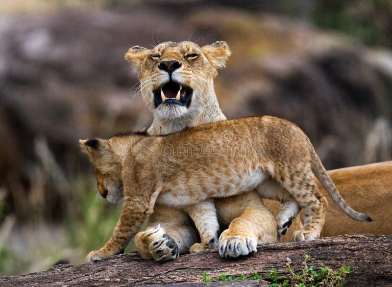 雌狮和她的崽在一个大岩石 国家公园 肯尼亚 坦桑尼亚 mara马塞语 serengeti 免版税库存照片