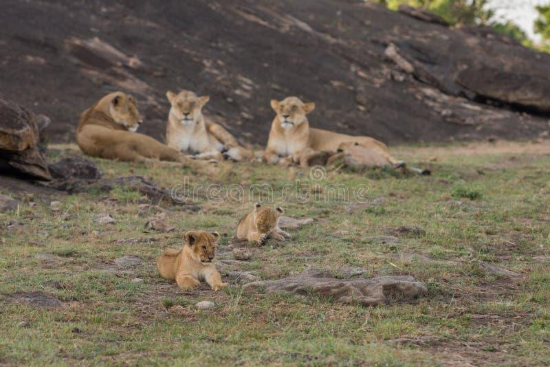 雌狮和崽在马塞语玛拉 图库摄影