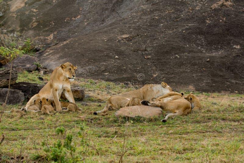 雌狮和崽在马塞语玛拉 免版税库存图片