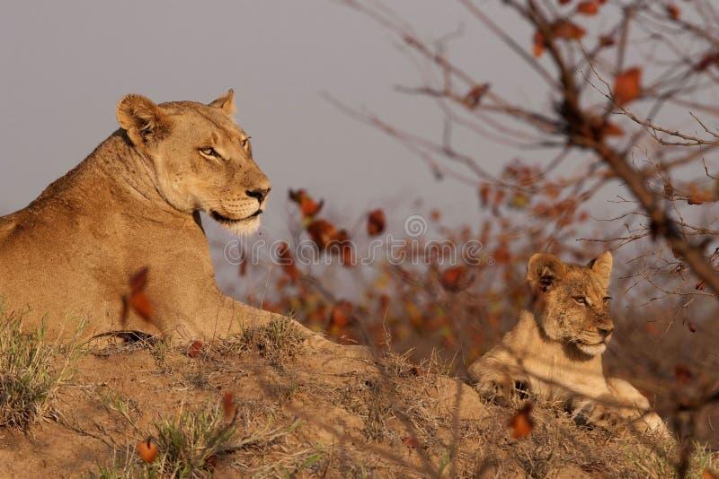 雌狮和崽 免版税库存照片