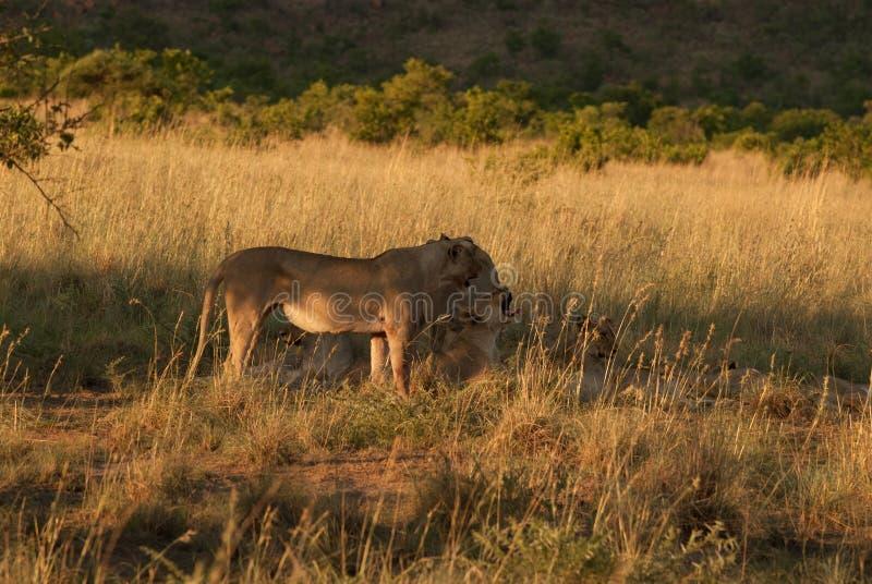 雌狮在一片草原在Pilanesberg 免版税图库摄影