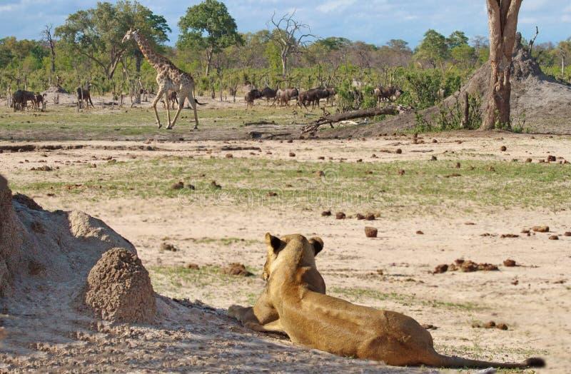 雌狮在万基国家公园观看一匹长颈鹿和角马 免版税库存图片