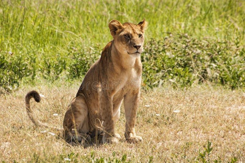 雌狮在坦桑尼亚 免版税库存图片