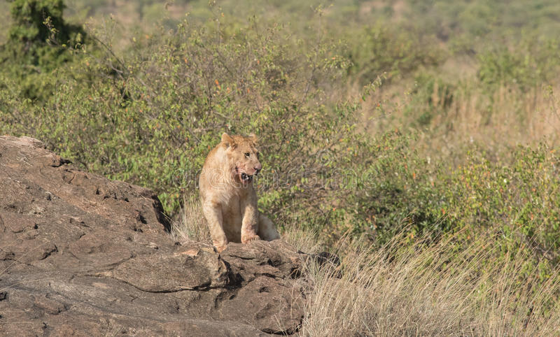 雌狮在马塞语玛拉,肯尼亚的原野 库存照片