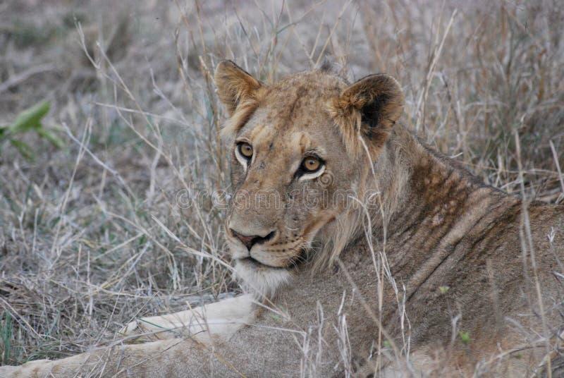 雌狮在Hoedspruit,南非 免版税库存图片