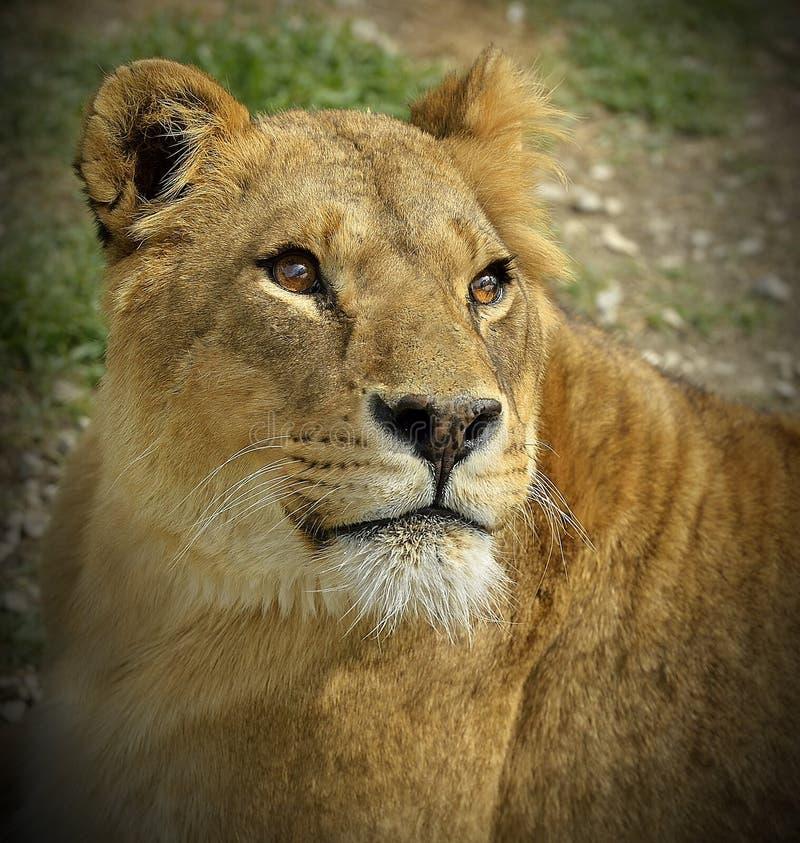 雌狮的纵向 免版税库存照片
