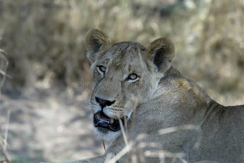 雌狮的画象,戈龙戈萨国家公园,莫桑比克 免版税图库摄影