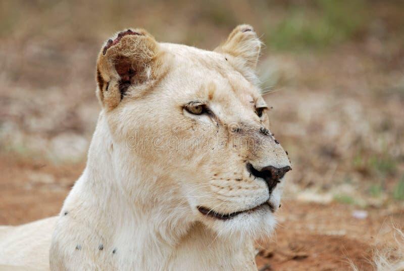 雌狮纵向白色 免版税库存图片