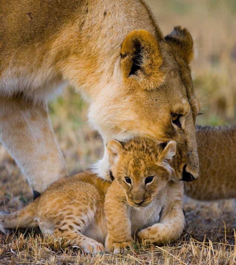 雌狮运载她的婴孩 国家公园 肯尼亚 坦桑尼亚 mara马塞语 serengeti 免版税图库摄影