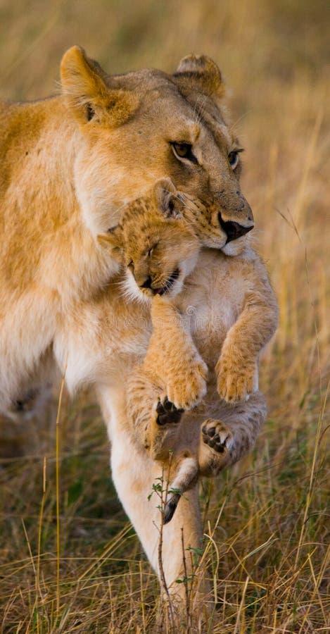 雌狮运载她的婴孩 国家公园 肯尼亚 坦桑尼亚 mara马塞语 serengeti 免版税库存照片