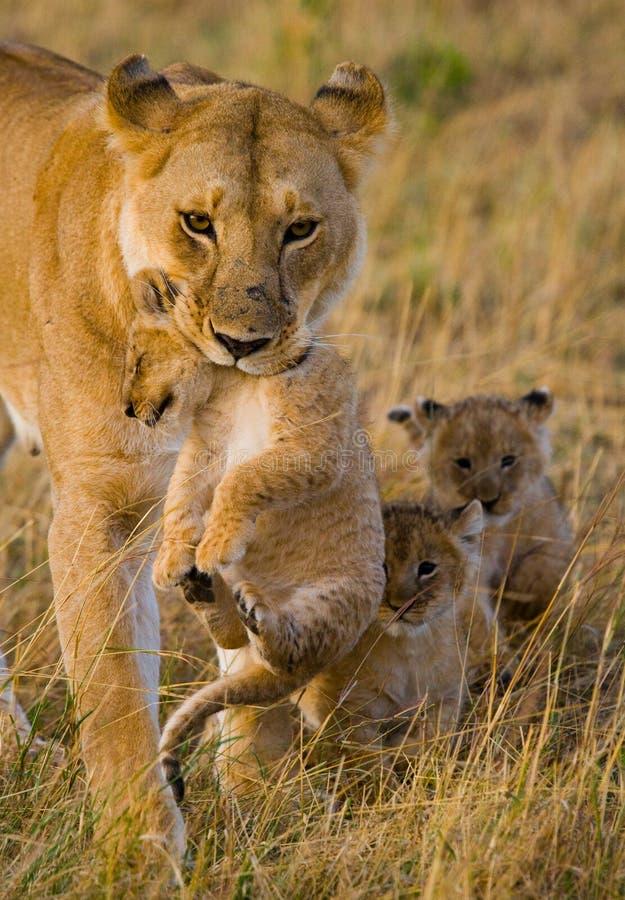 雌狮运载她的婴孩 国家公园 肯尼亚 坦桑尼亚 mara马塞语 serengeti 库存图片