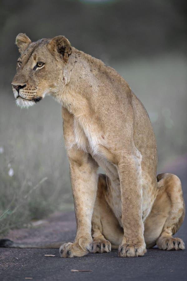 雌狮集中 免版税库存图片