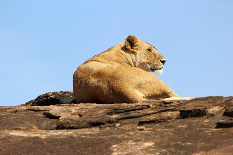 雌狮,马塞语玛拉,肯尼亚,非洲 免版税库存照片
