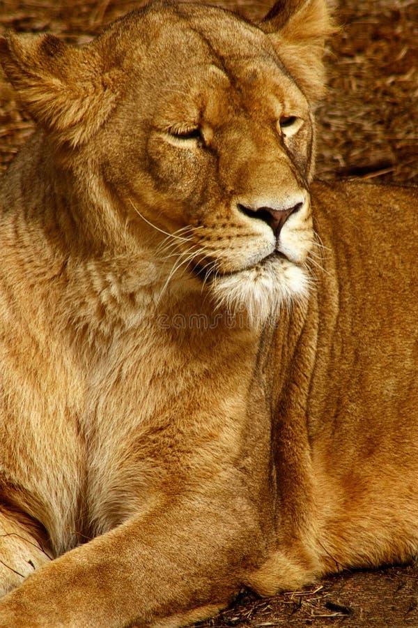 雌狮 库存图片