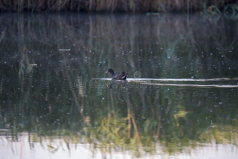 雌红松鸡小鸡,与一红色额嘴Gallinula chloorpus游泳的野鸭在狂放的池塘 r 库存图片