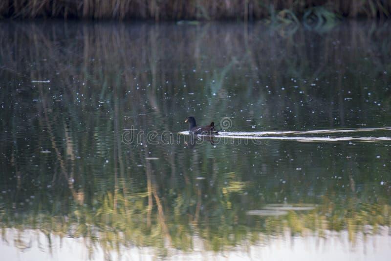 雌红松鸡小鸡,与一红色额嘴Gallinula chloorpus游泳的野鸭在狂放的池塘 r 免版税库存照片