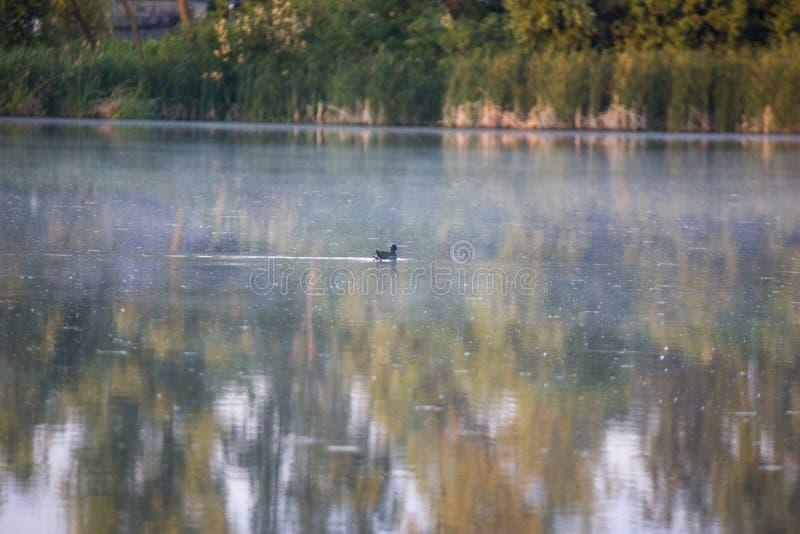 雌红松鸡小鸡,与一红色额嘴Gallinula chloorpus游泳的野鸭在狂放的池塘 r 免版税库存图片