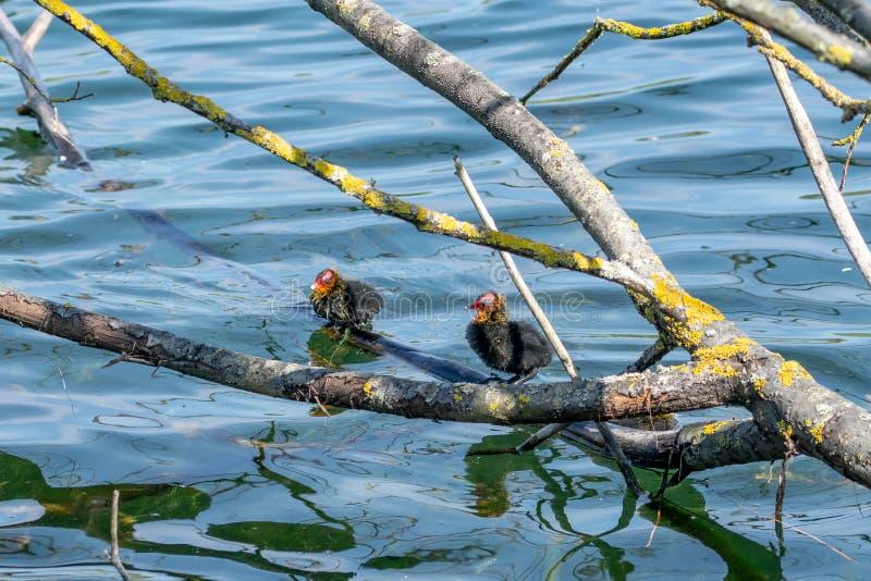 雌红松鸡鸭子在春天 免版税库存图片