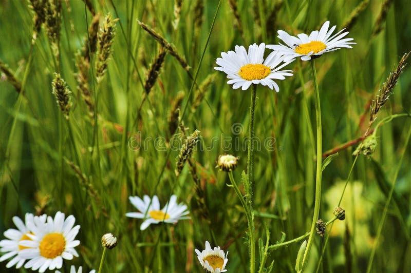 雏菊、草本和耳朵在一个山草甸在春天 免版税图库摄影