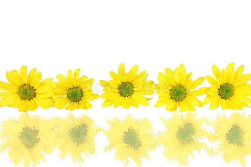 雏菊反映荡桨白色 免版税库存图片