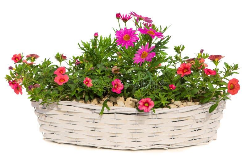 雏菊和喇叭花在一个白色篮子开花 免版税库存照片