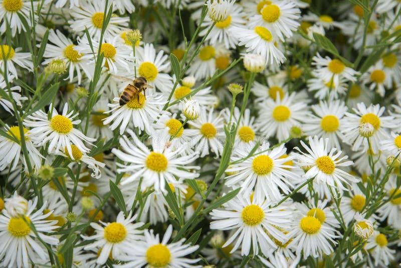 雏菊和蜂 免版税图库摄影