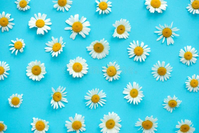 雏菊图案 蓝色背景中的夏甘菊花 平躺 顶视图 免版税库存图片