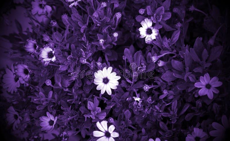 雏菊在庭院里 库存图片