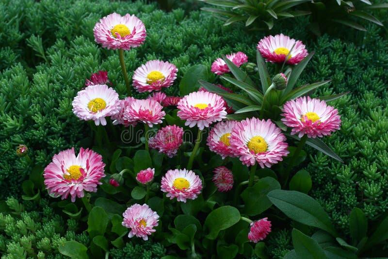雏菊在庭院里 免版税库存图片