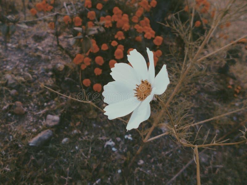 雏菊在庭院里 库存照片