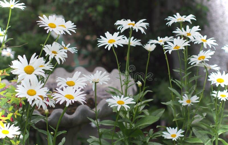 雏菊在有鸟浴的庭院里 免版税库存照片