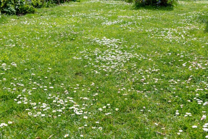 雏菊在草坪 库存照片