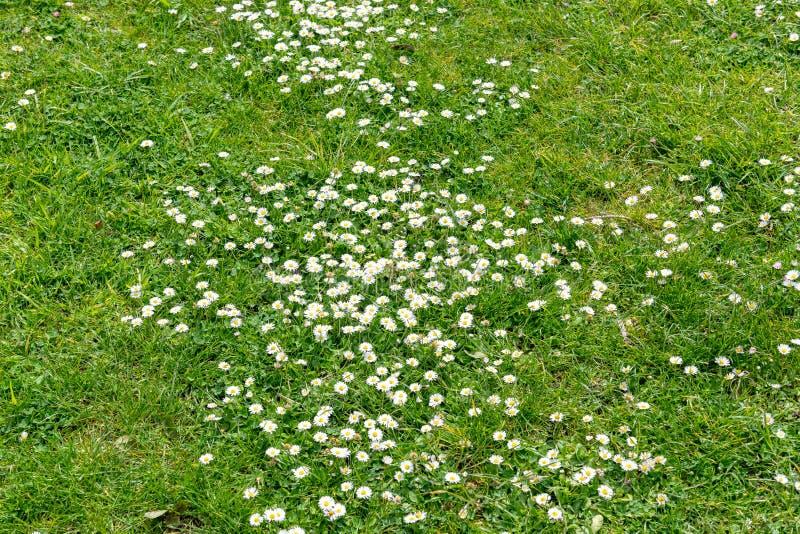 雏菊在草坪 免版税图库摄影