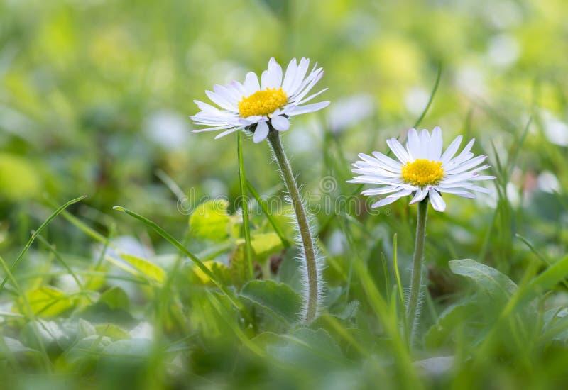 雏菊在草甸 库存照片