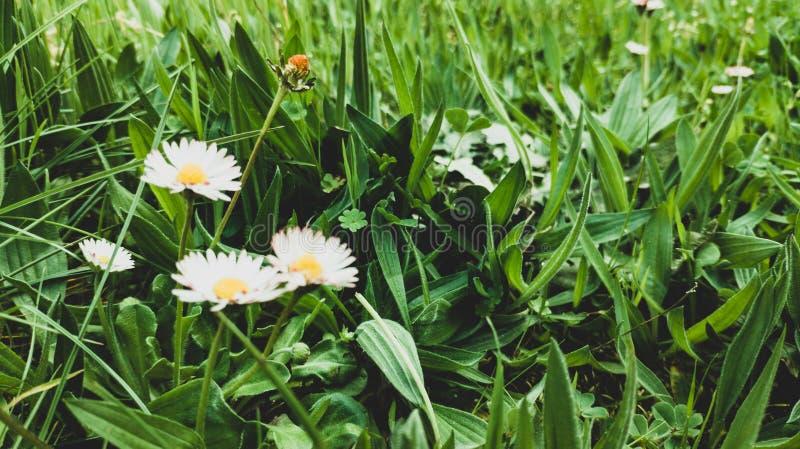 雏菊在草背景开花了 免版税图库摄影