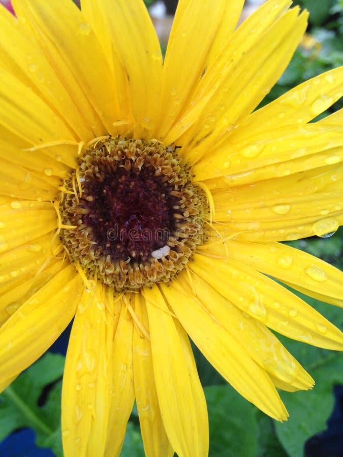 雏菊在雨中 免版税图库摄影