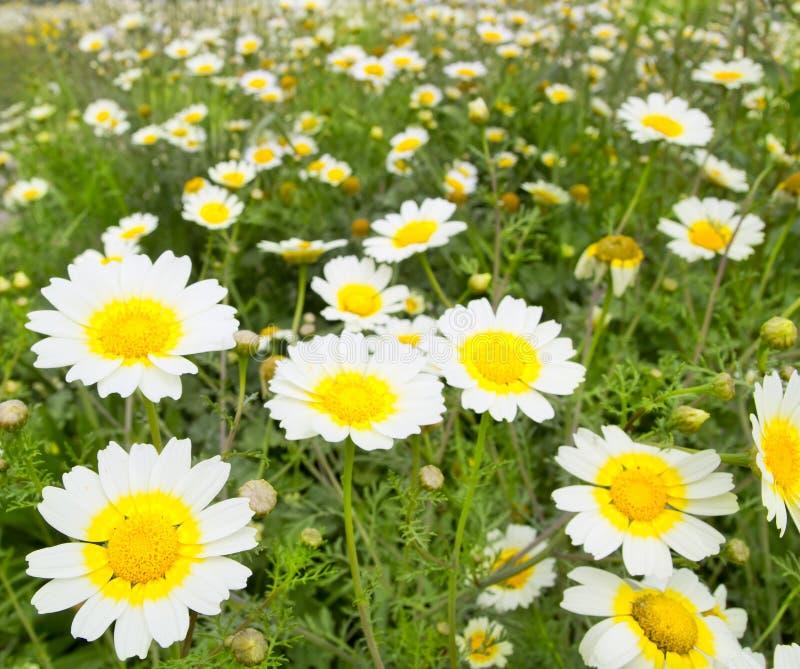 雏菊域开花草甸春天空白黄色 图库摄影