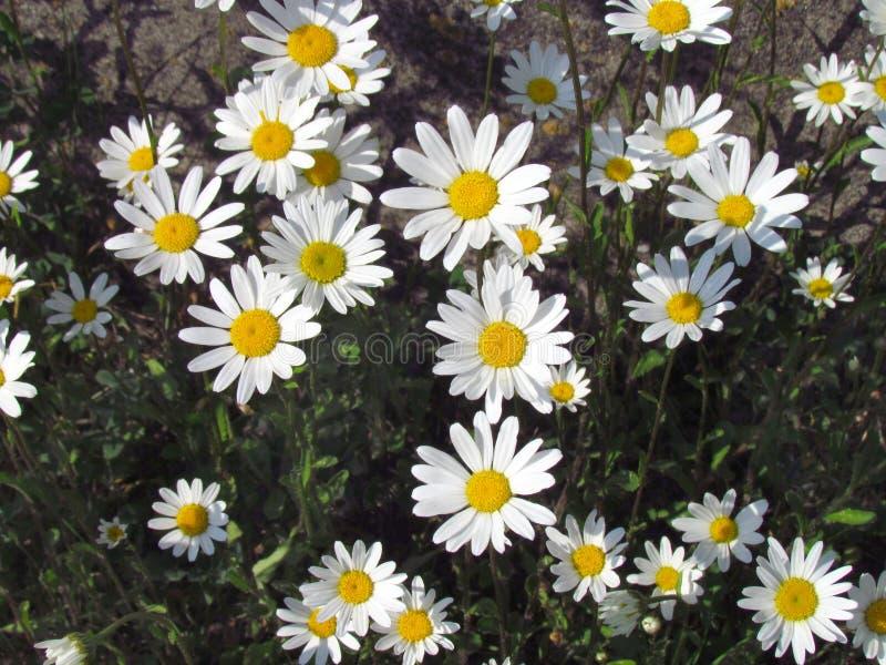 雏菊开花关闭,在草甸, topview的白花 免版税库存图片