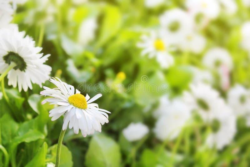 雏菊开花领域美好的白色特写镜头在被弄脏的绿色的 免版税库存图片