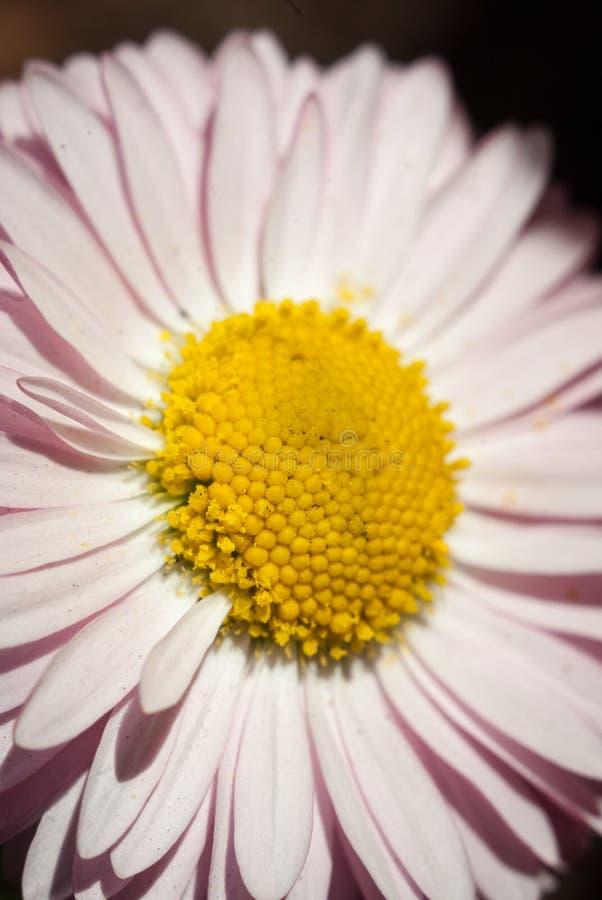 雏菊扩大的花桃红色 免版税库存照片