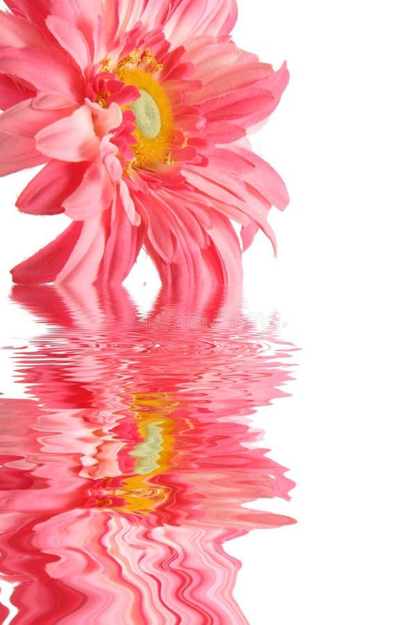 雏菊桃红色水 库存照片