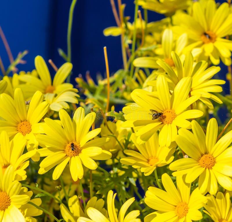 雏菊甚而在阿拉斯加开花 库存图片