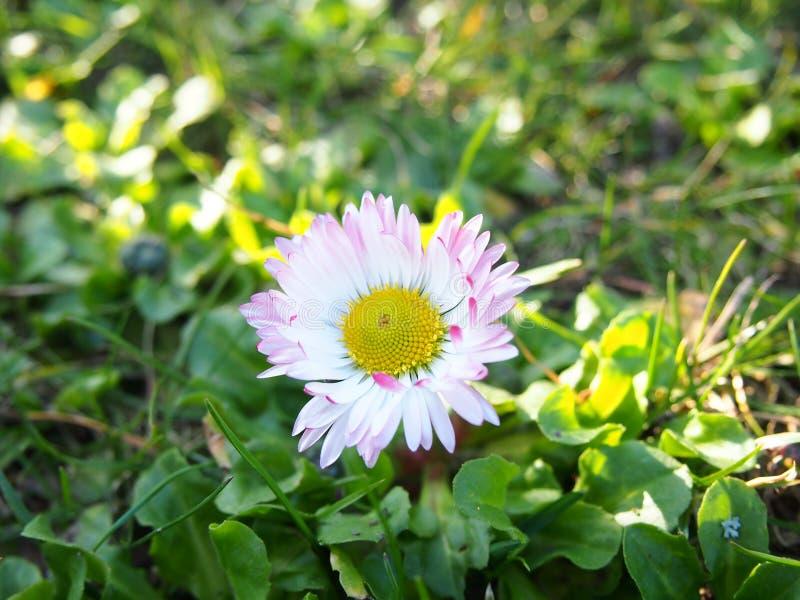 雏菊白色和桃红色在庭院里,采取在一个庭院里在什切青,波兰 库存图片