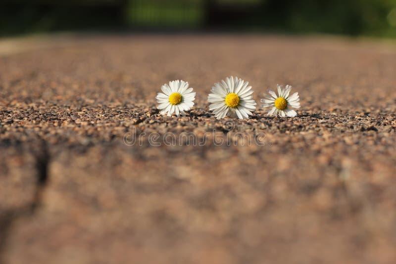 雏菊白色和黄色花在晴天 免版税库存照片