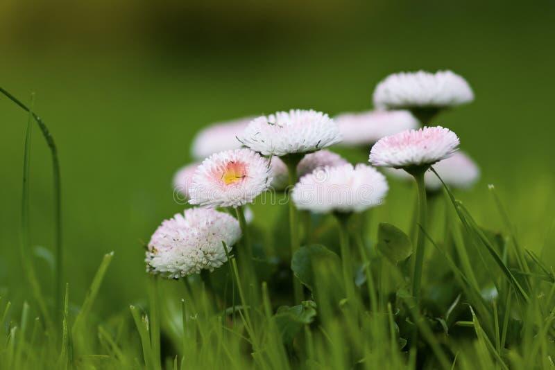 雏菊白色 图库摄影