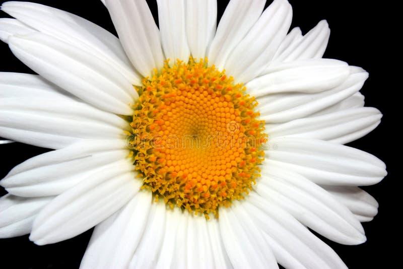雏菊白色 免版税库存照片