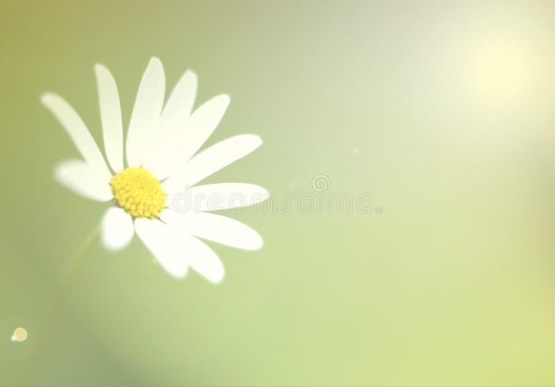 雏菊白色 库存照片