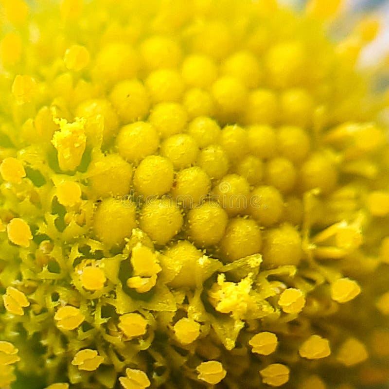 雏菊的中央,内在部分 雏菊花宏指令 免版税图库摄影
