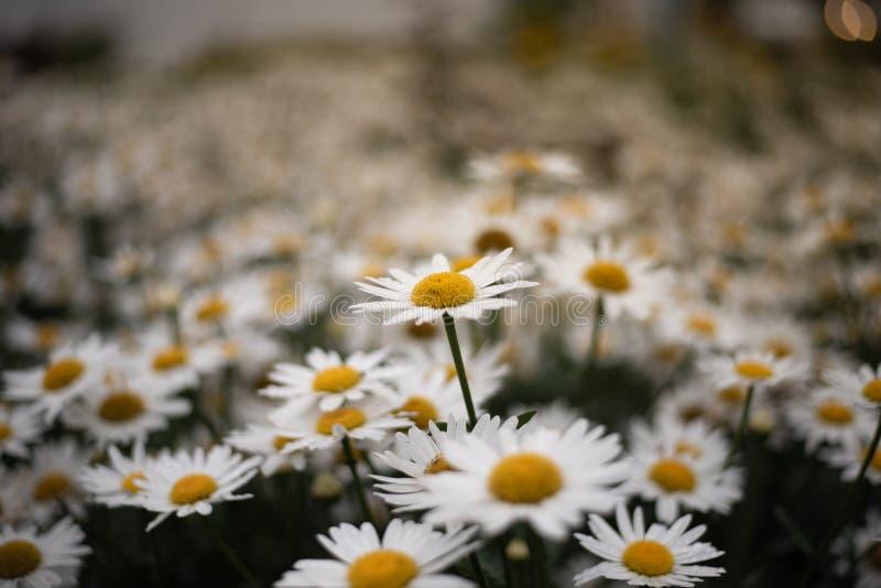 雏菊的领域与一更高的花和bokeh的 免版税库存照片