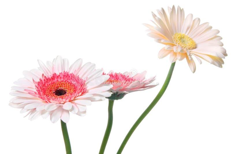 雏菊粉红色 库存图片